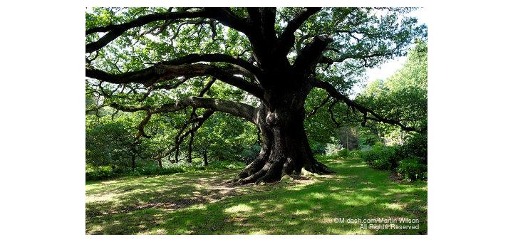 Oak Tree, Arbour Hill, Wollaton Park