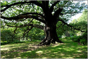 Oak Tree, Arbour Hill, Wollaton Park