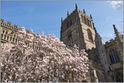 Magnolia blossom at St Mary's, Nottingham